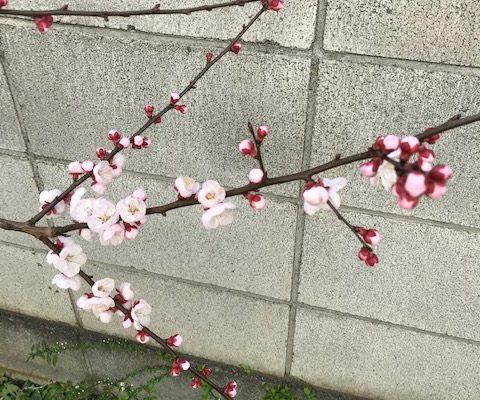 我が家の開花&レモンコーディアルとピールづくり教室開催しました
