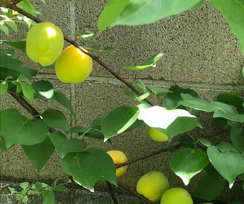 杏の収穫&7月の手しごと教室のお知らせ